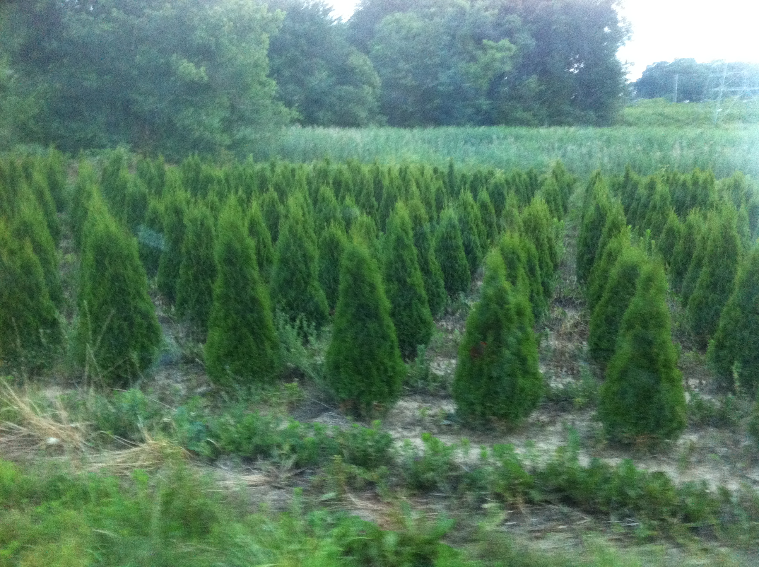 Evergreen Trees Clark Brothers Nursery