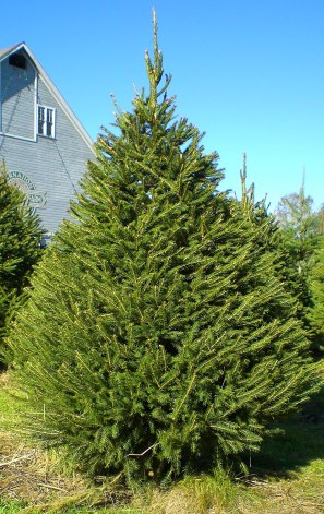 Norway Spruce (2)