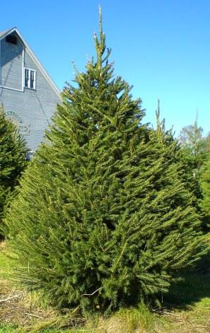 Norway Spruce (2)