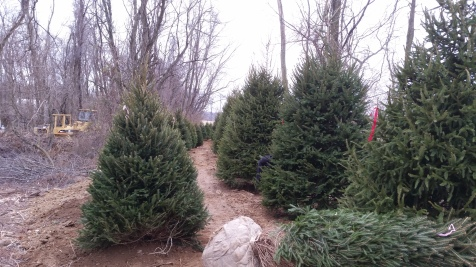 Norway Spruce (5)