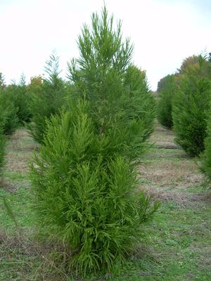 Cryptomeria - Yoshino 1
