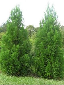 Cryptomeria - Yoshino 3