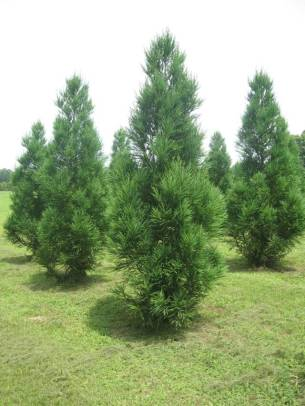 Cryptomeria - Yoshino 4