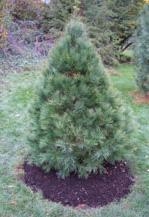 Mulch-circle_Pine-tree