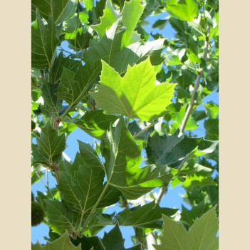 platanus-acerifolia-bloodgood