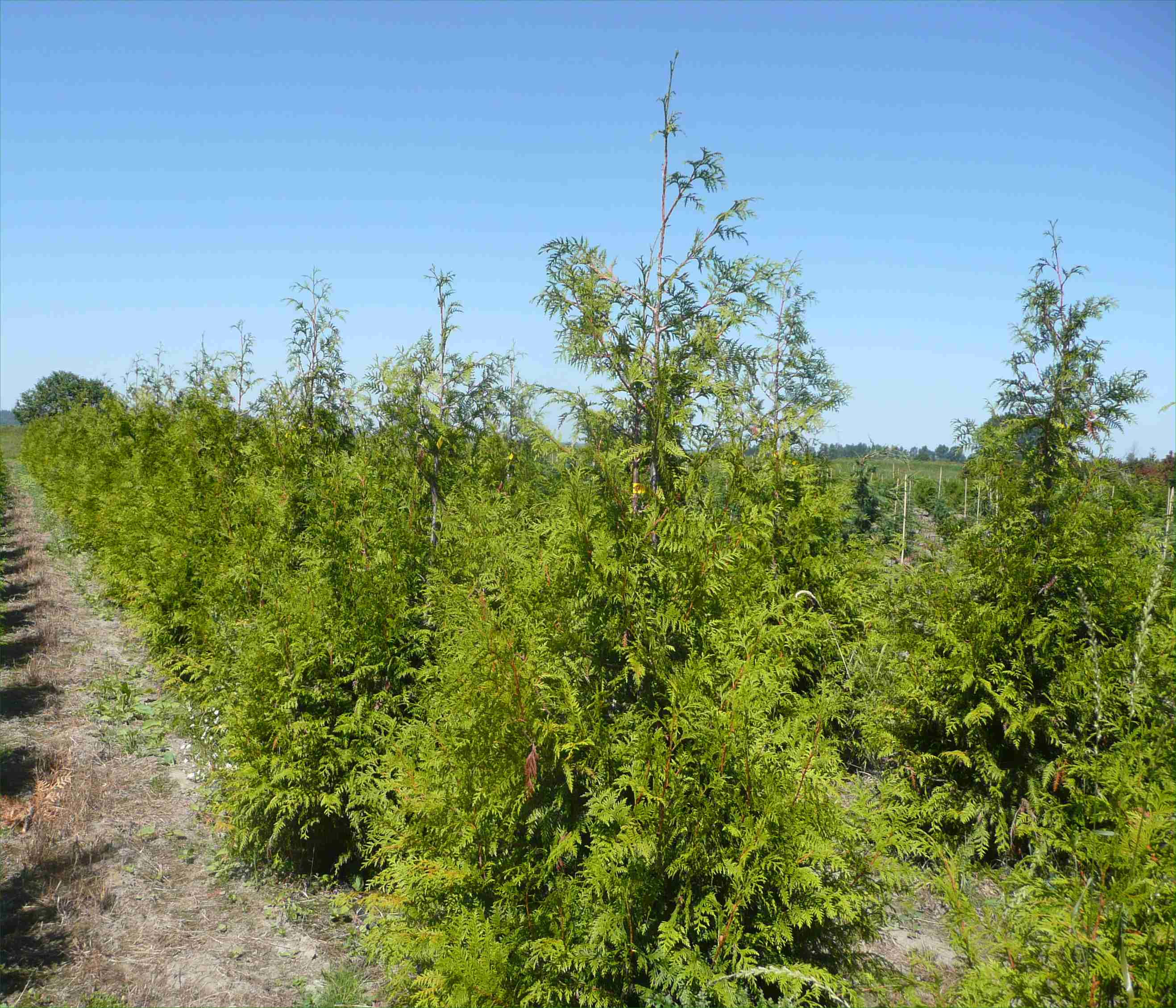 Thuja green giant arborvitae 13 clark brothers nursery for Green giant arborvitae