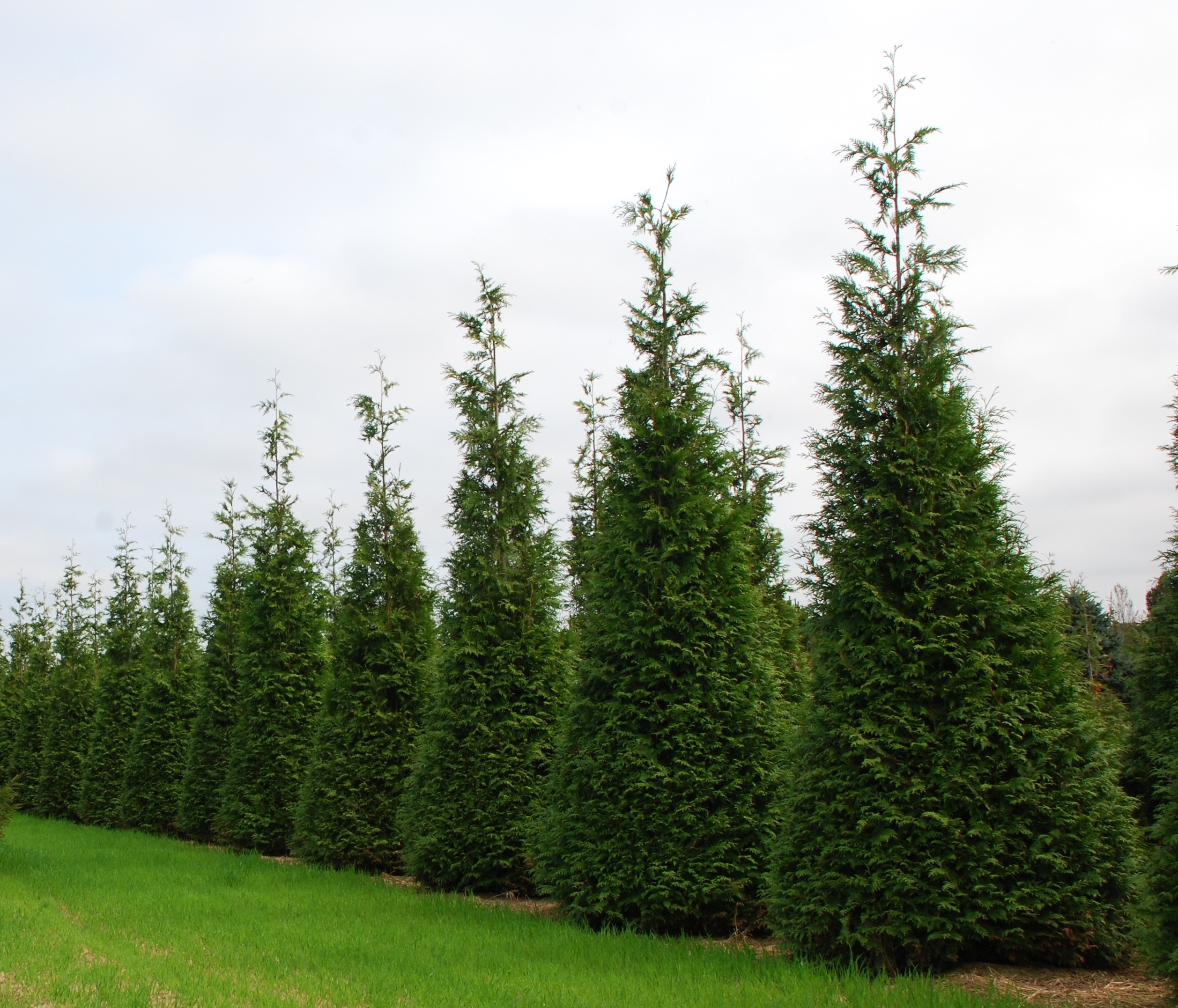 Arborvitae green giant clark bros nursery Green giant arborvitae