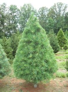 white-pine-u-big