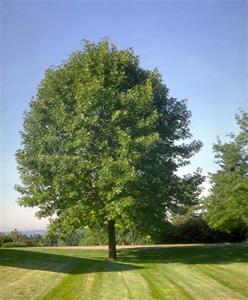 white_ash_tree-image2
