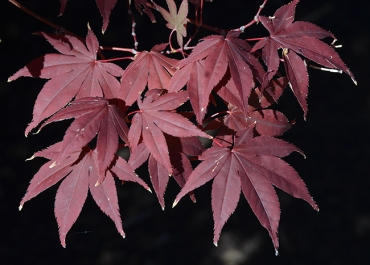 acer-palmatum-bloodgood-leaves-2