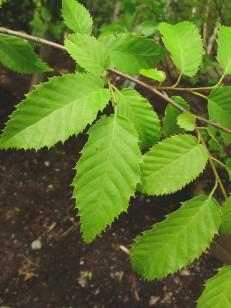 carpinus-caroliniana-le-gmittelhauser-b