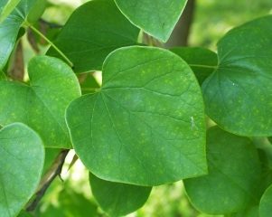 cercis-canadensis-leaves