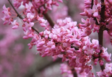cercis_canadensis_redbud_mid_profuse
