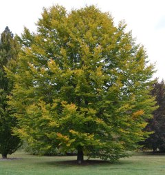 fagus-sylvatica-tree-2