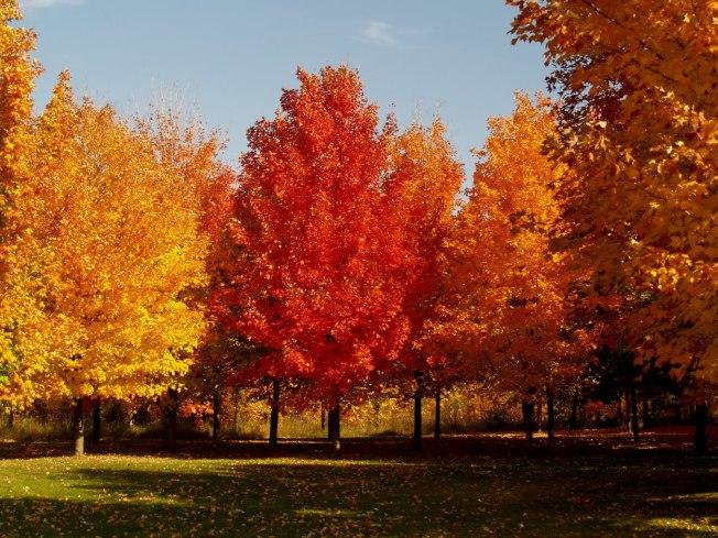 sugar-maple-fall-colots