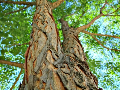 005-kentucky-coffee-tree-bark-680-by-510