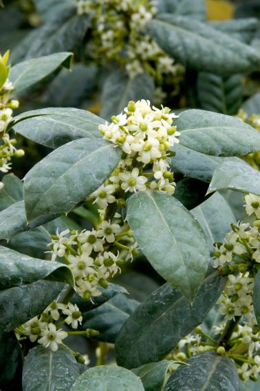 Nellie R. Stevens Holly, Ilex hybrida, flowering branch, at Visalia CA USA
