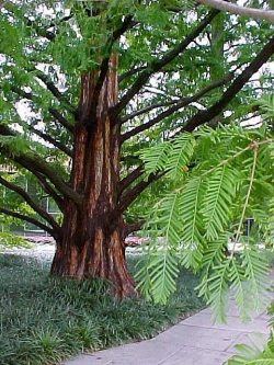 2800-metasequoia-glyptostroboides-dawn-redwood