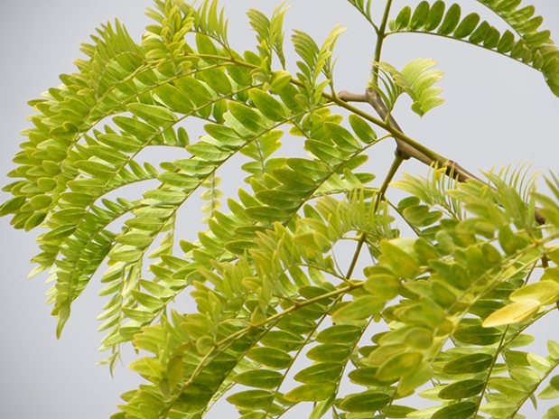 gleditsia-triacanthos-inermis-shademaster-leaves