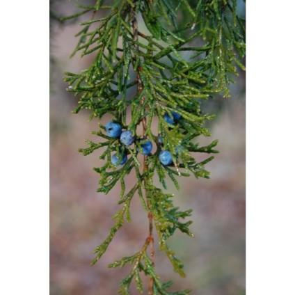 juniperus_virginiana_fruit_-_nov_30_2008_426x640_