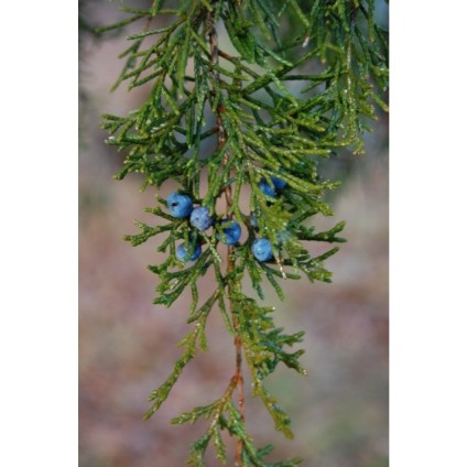 juniperus_virginiana_fruit_-_nov_30_2008_426x640_