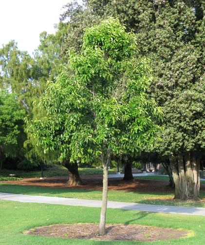 nyssa-sylvatica-tree-young