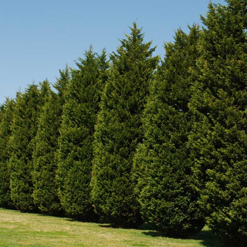 Leyland Cypress Clark Brothers Nursery